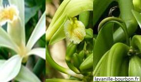 variete vanille miniature